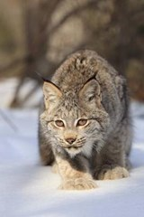 Bobcat on the Prowl Journal | Cool Image |