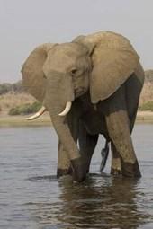 Bull Elephant in the River Journal