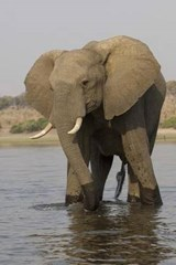 Bull Elephant in the River Journal | Cool Image |