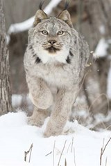 Canadian Lynx on the Move Journal | Cool Image |