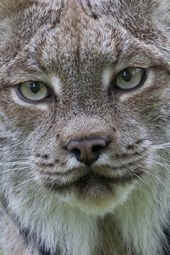 Canadian Lynx Portrait Journal