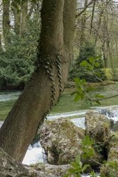 A Yew Tree by the Creek