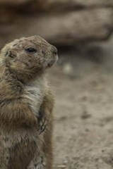 Prairie Dog on Guard Duty | Unique Journal |
