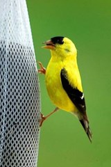 A Beautiful Golden Finch Perched on a Feader | Unique Journal |