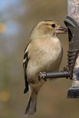 Chaffinch Perched on a Bird Feeder | Unique Journal |