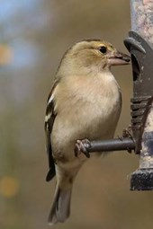 Chaffinch Perched on a Bird Feeder