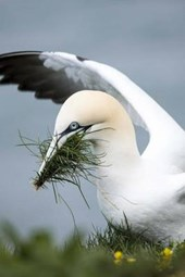 Gannet Putting Together a Nest by the Shore