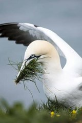 Gannet Putting Together a Nest by the Shore | Unique Journal |