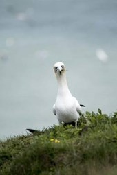 Gannet Watching on a Cliff by the Sea