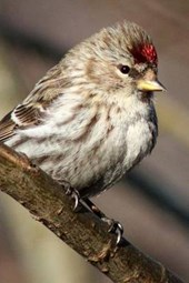 Redpoll Perched on a Branch, Birds of the World