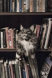 Maine Coon Cat Guarding the Library