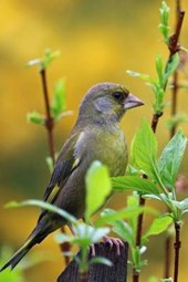 Greenfinch Perched in Branches