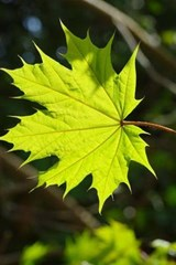 Leaf of the Norwegian Maple Tree | Unique Journal |