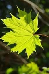 Leaf of the Norwegian Maple Tree