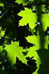 Leaves of the Norway Maple Tree, for the Love of Nature