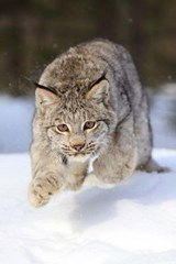 Leaping Bobcat Journal | Cool Image |