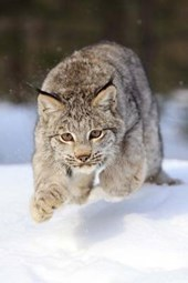 Leaping Bobcat Journal
