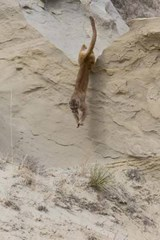 Leaping Mountain Lion Journal | Cool Image |