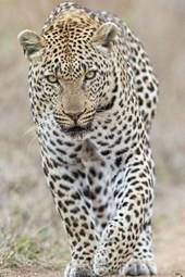 Leopard Checking You Out Journal