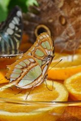 Butterflies Feeding on Oranges | Unique Journal |