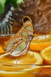 Butterflies Feeding on Oranges