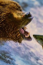 A Grizzly Bear Catching a Salmon
