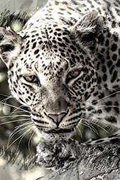 A Leopard High in a Tree, for the Love of Animals
