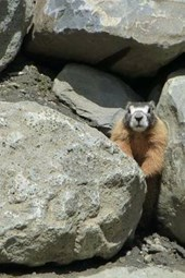 A Ground Squirrel Between a Rock and a Hard Place