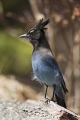 Stellar Jay on a Rock - Bird Journal | Cool Image |