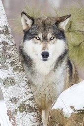 Timber Wolf Checking You Out Journal