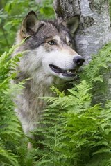 Timber Wolf Portrait Journal | Cool Image |