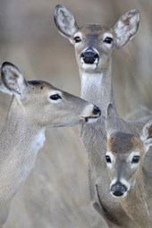 Whitetail Deer Family - Doe and Fawns Journal