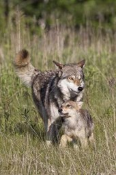 Wolf with Cub in the Wild Journal