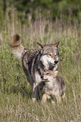 Wolf with Cub in the Wild Journal | Cool Image |