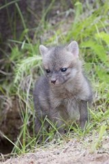 Young Grey Kit Fox Journal | Cool Image |