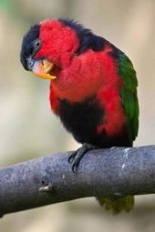 Black-Capped Lory Bird Journal
