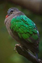 Common Emerald Dove Journal