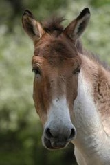 Kiang (Equus Kiang) Journal | Cool Image |