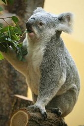 Koala Eating Eucalyptus Leaves Journal