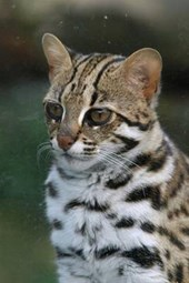 Leopard Cat Journal