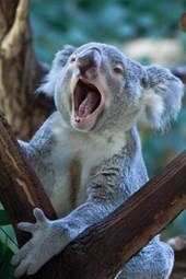 Queensland Koala Journal