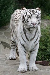 Say Hello to the White Tiger Journal