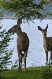 A Pair of Deer by the Lake's Edge