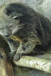 Arctictis Binturong, for the Love of Animals
