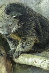 Arctictis Binturong, for the Love of Animals | Unique Journal |
