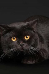 Beautiful Black Cat Laying in Front of a Black Backdrop | Unique Journal |