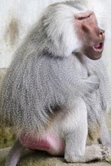 Hamadryas Baboon Crouched Down and Thinking | Unique Journal |
