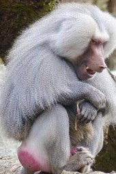 Hamadryas Baboon Sitting, for the Love of Animals
