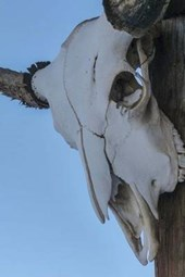 Steer Skull on a Pole in the Old West