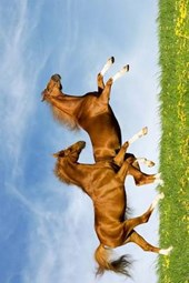 Two Beautiful Brown Horses Frollicking in a Meadow